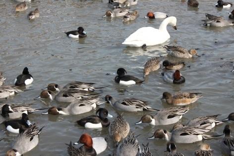 11月の句会お題の水鳥