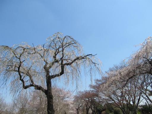 20120408・多磨霊園11