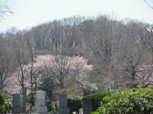 20120408・多磨霊園10