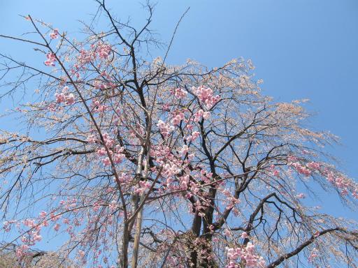 20120408・多磨霊園08