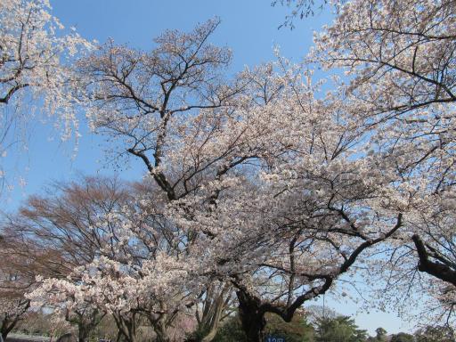20120408・多磨霊園14