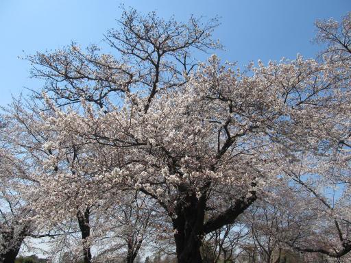 20120408・多磨霊園19