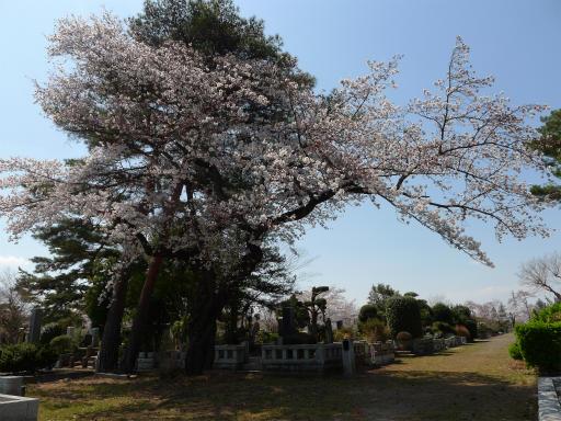 20120408・多磨霊園L03