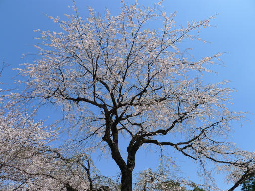 20120408・多磨霊園L12