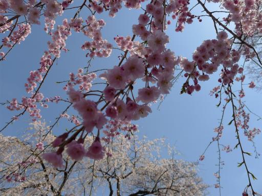 20120408・多磨霊園L11