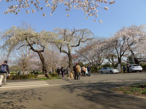 20120408・多磨霊園L16