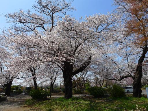 20120408・多磨霊園L14