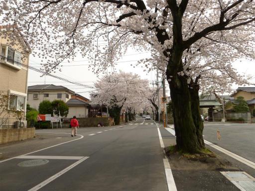 20120410・近所の桜1-04
