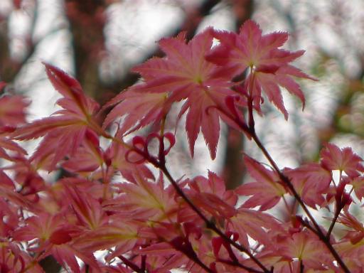 20120410・近所の桜1-12