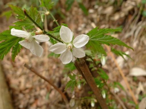 20120410・近所の桜1-09・モミジイチゴ