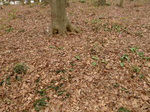 20120410・近所の桜1-18