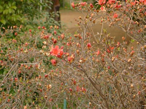20120410・近所の桜2-07