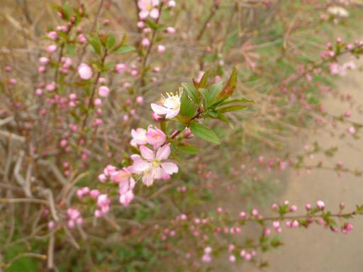 20120410・近所の桜2-23