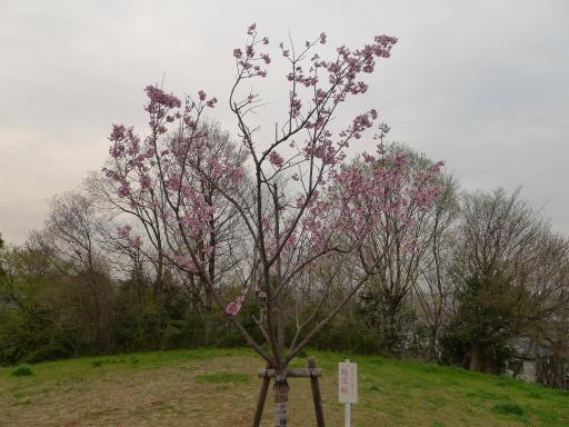 20120410・近所の桜2-20・陽光桜