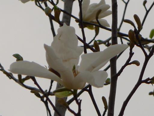 20120410・近所の桜2-19・コブシ