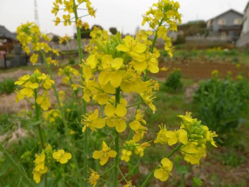 20120410・近所の桜3-03・ナノハナ