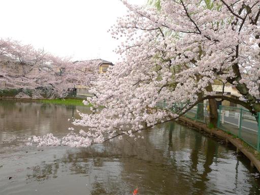 20120410・近所の桜3-12