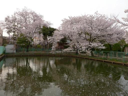 20120410・近所の桜3-11