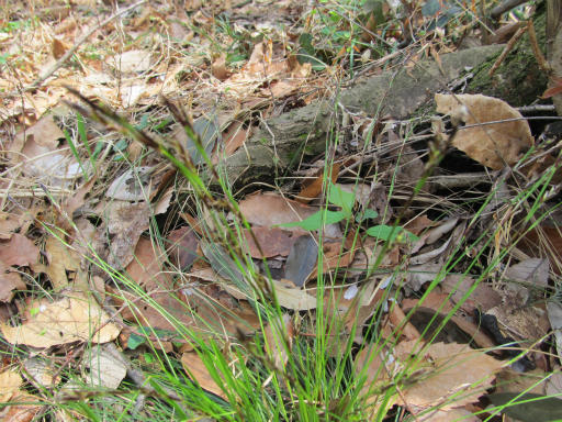 20120415・緑の森1-06・シロカンスゲ