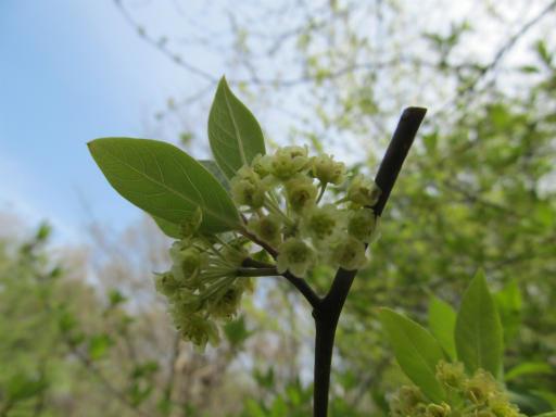 20120415・緑の森1-01・クロモジ