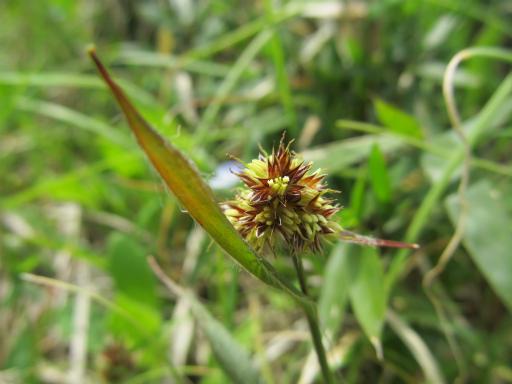 20120415・緑の森1-12・スズメノヤリ