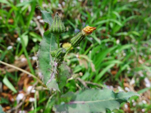 20120415・緑の森2-06L・ハルノノゲシ