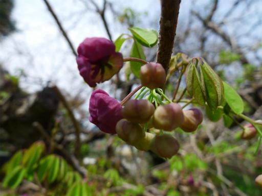 20120415・緑の森2-01L・アケビ