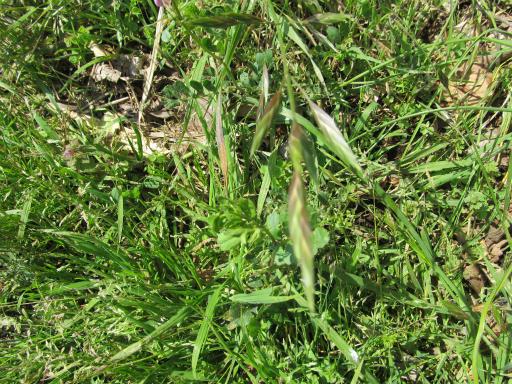 20120415・緑の森2-16・イヌムギ