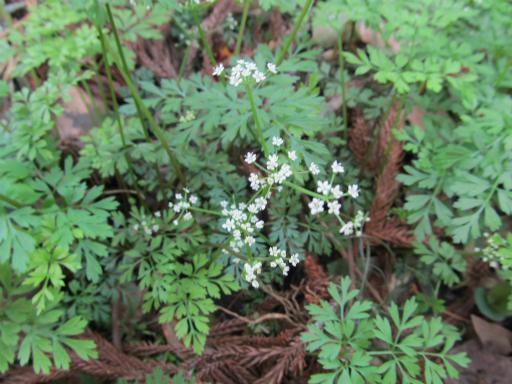 20120415・緑の森2-15・セントウソウ