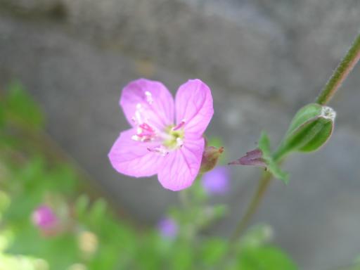 20120513・午後の散歩02・赤花ユウゲショウ