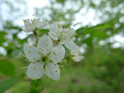 20120602・榛名07・ズミの花