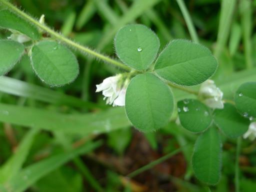 20120902・緑の森2-15・ネコハギ