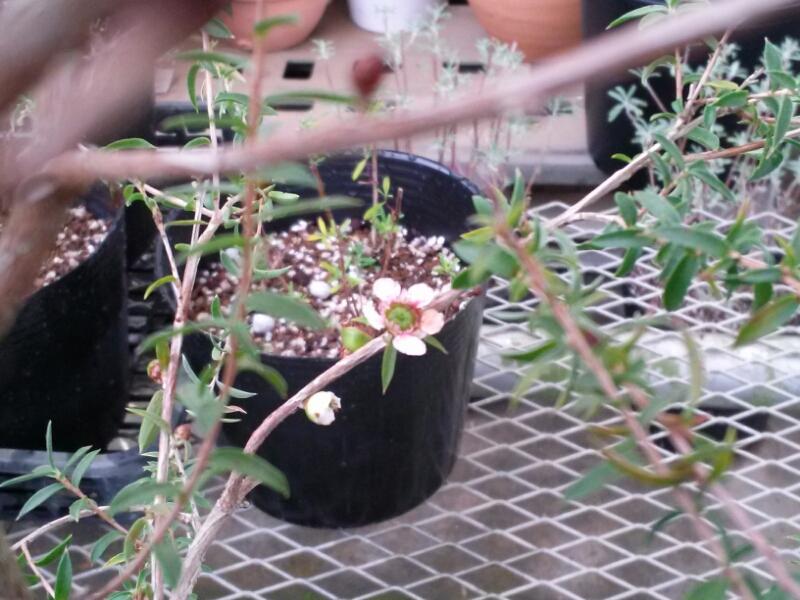 マヌカのお花が開花