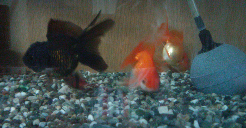 goldfish20130811.jpg