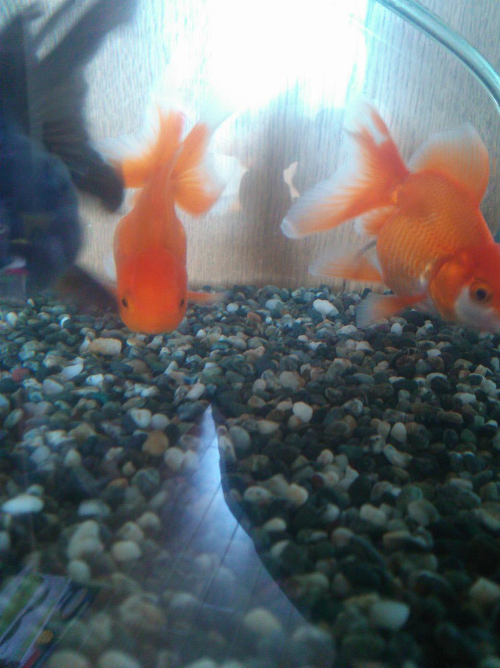 goldfish20130819.jpg