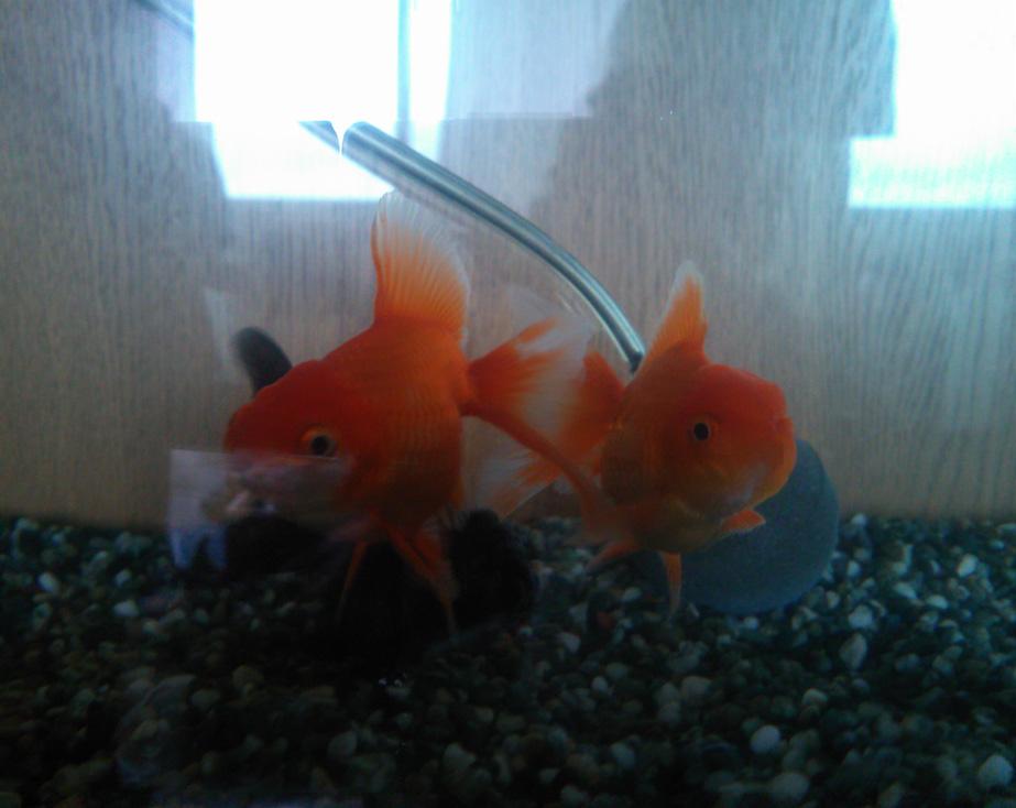 goldfish20130824.jpg