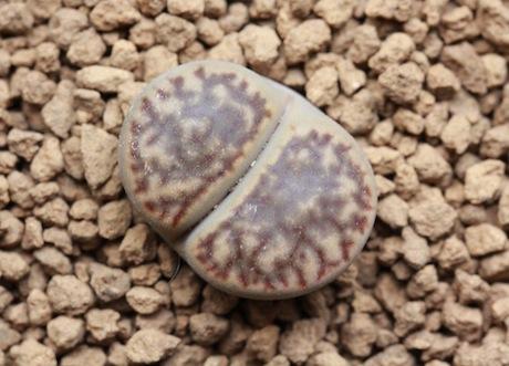 リトープス・C348ザクロ玉